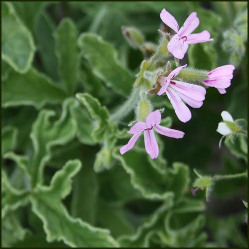 Scented Pelargonium - Geranium - Rober's Lemon Rose